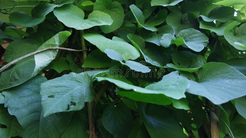 Le fond de l'Aristolochia Macrophilla part comme le coeur vert images stock