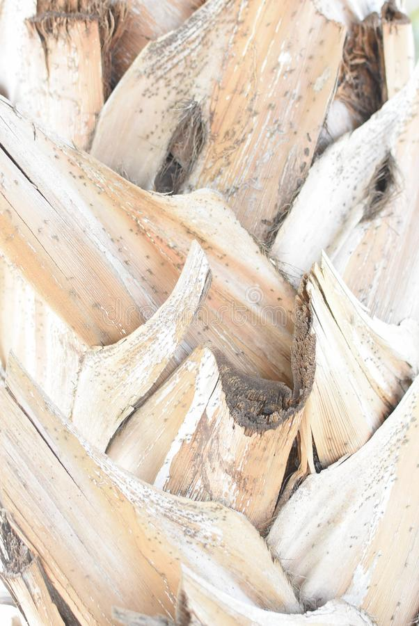 Le fond de la coquille sèche du palmier photos libres de droits