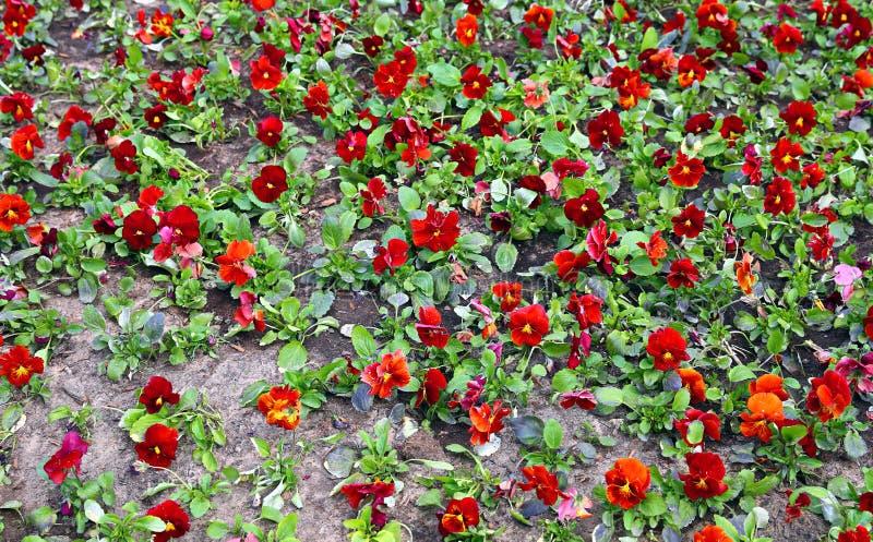 Le fond de la floraison fleurit la pensée de pluralité photos libres de droits