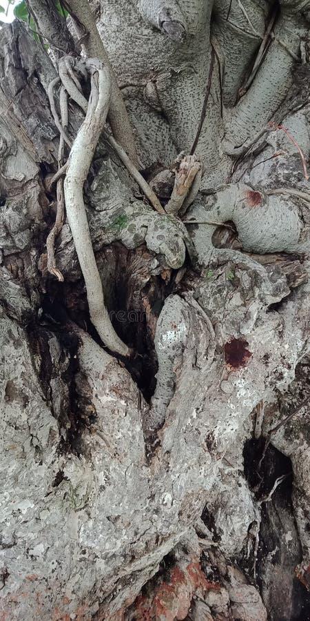 Le fond de nature de fond de racines et de textures de banian wallpaper, photos libres de droits
