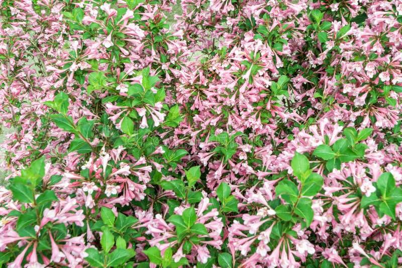 Download Le Fond De Texture Du Redisch Fleurit Sur L'élevage Vert Sur Le Woode Image stock - Image du irritation, normal: 76089709