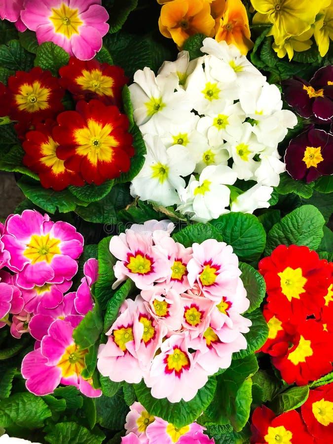 Le fond des fleurs du ressort coloré fleurit la primevère images libres de droits