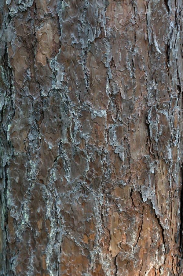 Le fond est écorce de pin du pin Décrivez l'utilisation pour la texture de fond, conception, faisant de la publicité photo libre de droits