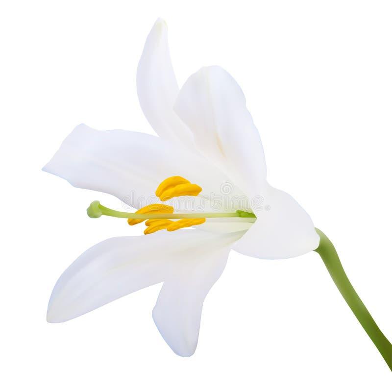 le fond fleurit le blanc lustré du lis deux illustration libre de droits