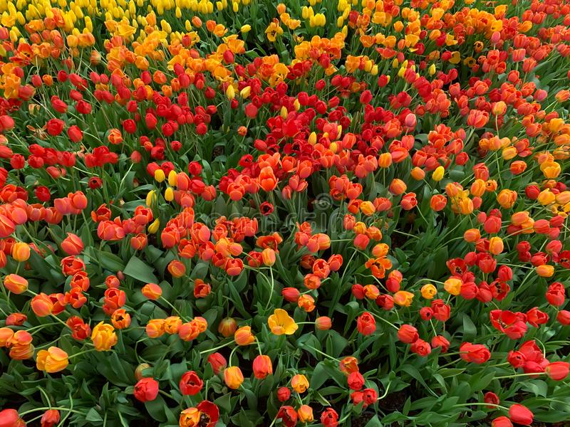 Le fond orange de fleurs photo libre de droits
