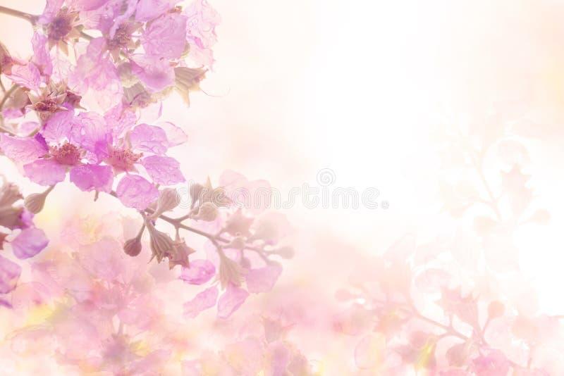 Le fond rose doux mou abstrait de fleur du frangipani de Plumeria fleurit photos stock