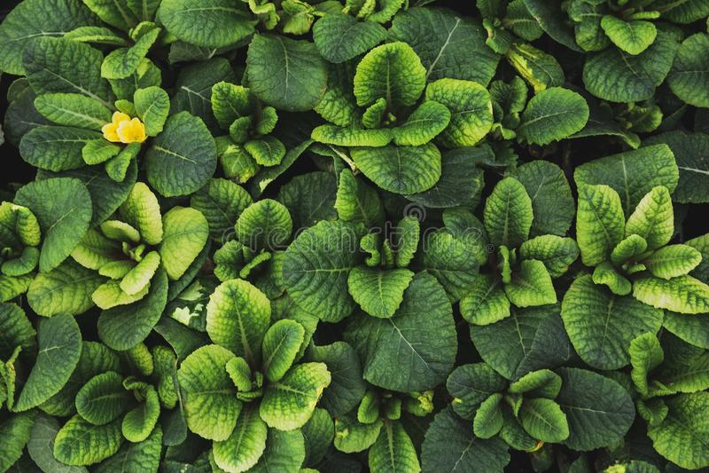 Le fond vert de texture de feuille, primevère part, vue supérieure, macro photo, usine de jardinage décorative images libres de droits