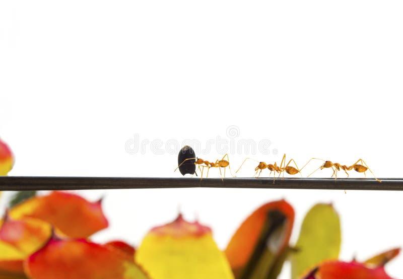 Le formiche alimentano l'alimento sul cavo fotografia stock libera da diritti
