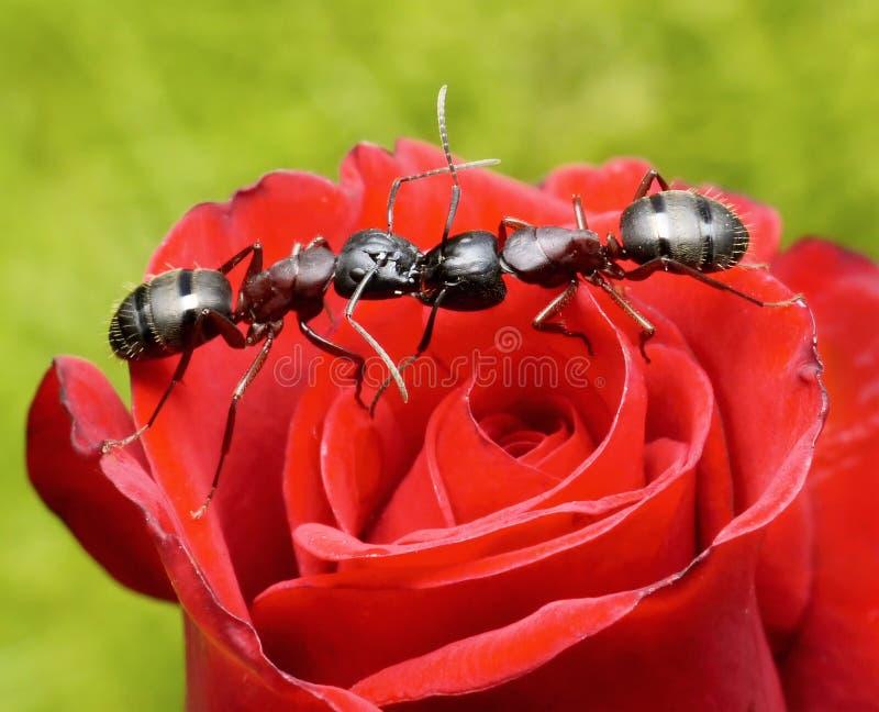Le formiche baciano su sono aumentato immagine stock libera da diritti