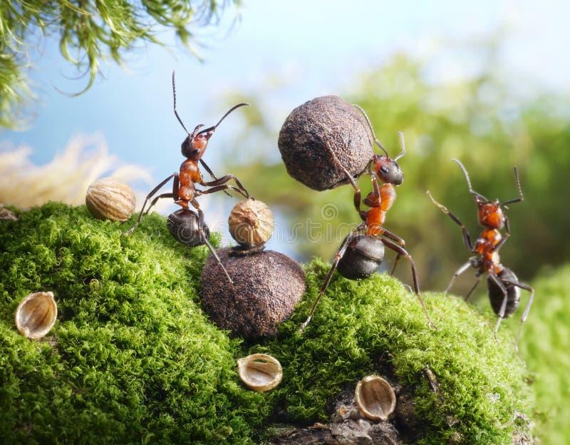 Le formiche fendono le noci con la pietra, mani fuori! fotografie stock