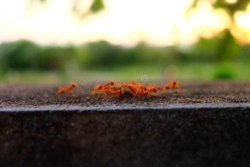 Le formiche prendono il loro alimento al nido immagini stock