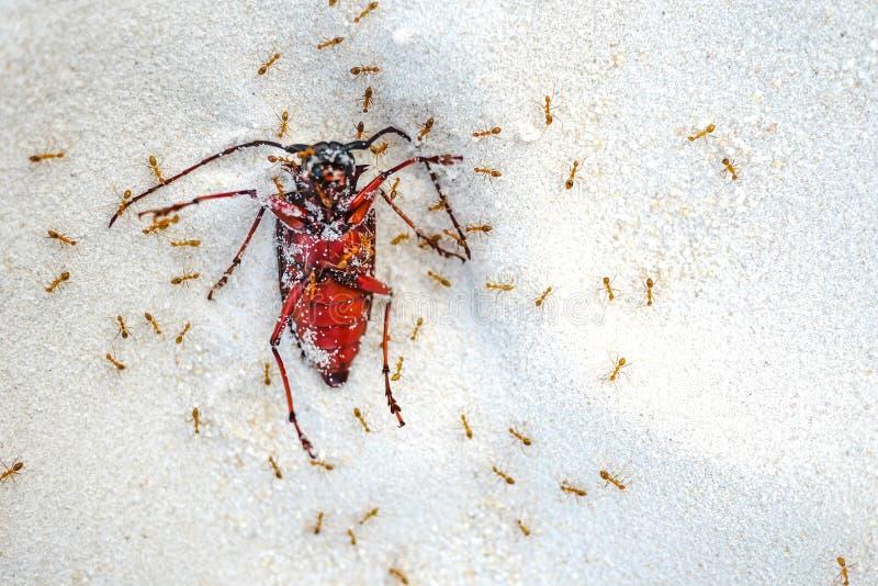 Le formiche rosse uccidono un grosso insetto sulla sabbia Natura mortale in geografia immagine stock