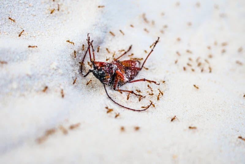 Le formiche rosse uccidono un grosso insetto sulla sabbia Natura mortale in geografia immagini stock