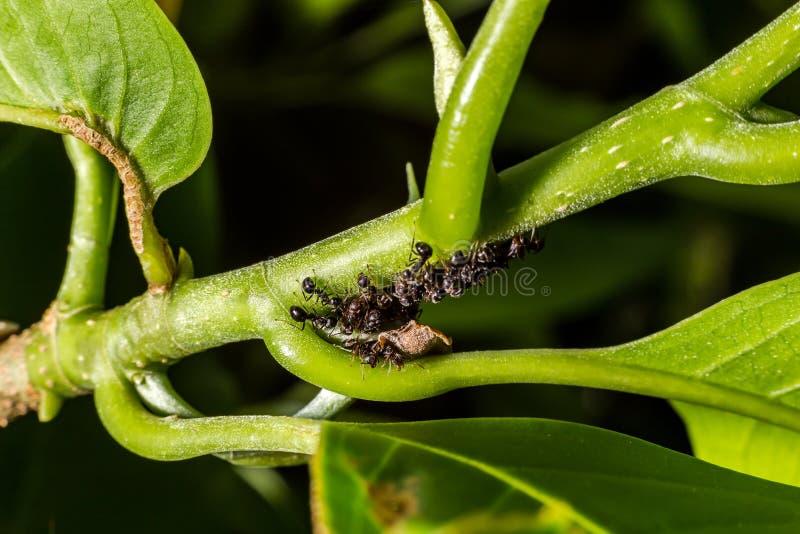 Le formiche stanno appendendo sulle foglie verdi immagini stock libere da diritti