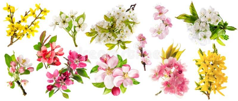 Le forsythia d'amande de poire de brindille de cerise de pommier de fleur a placé le ressort image libre de droits
