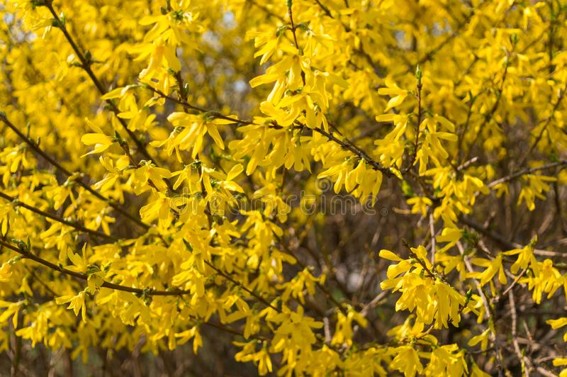 Le forsythia jaune de fleurs jaillit Fond naturel Orientation molle images stock