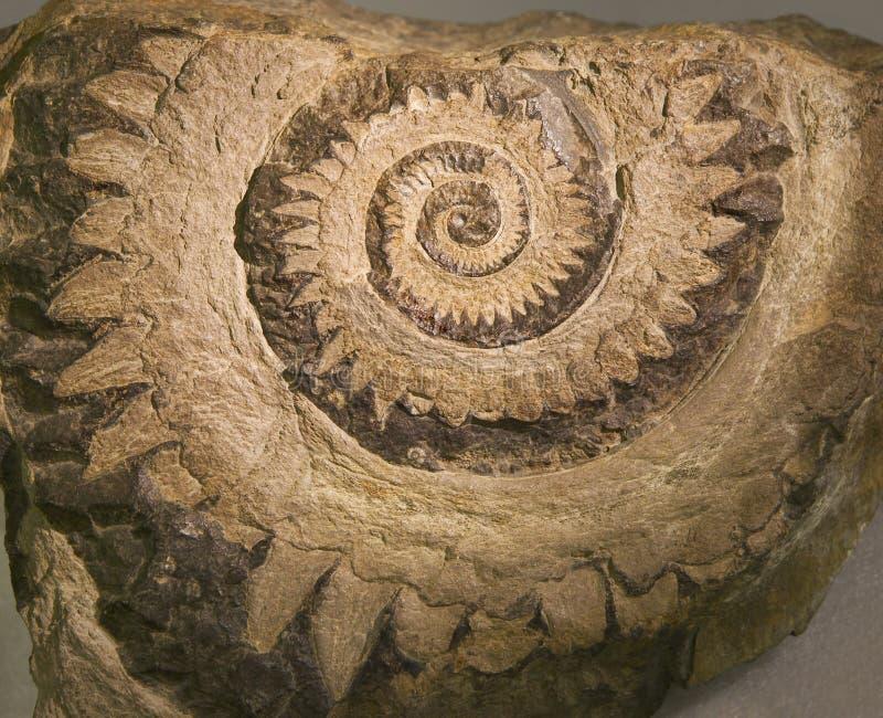 Le fossile du «bourdonnement a vu» le requin de dent photo stock