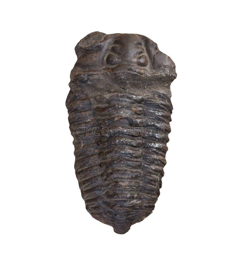 Le fossile du trilobite sur le fond blanc, d'isolement images libres de droits