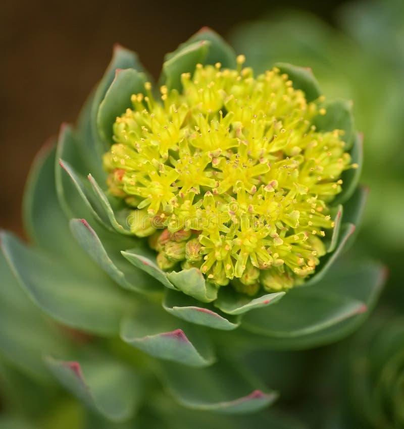 Le foto di belle piante con le foglie carnose, celanti i germogli ingialliscono i fiori fotografia stock