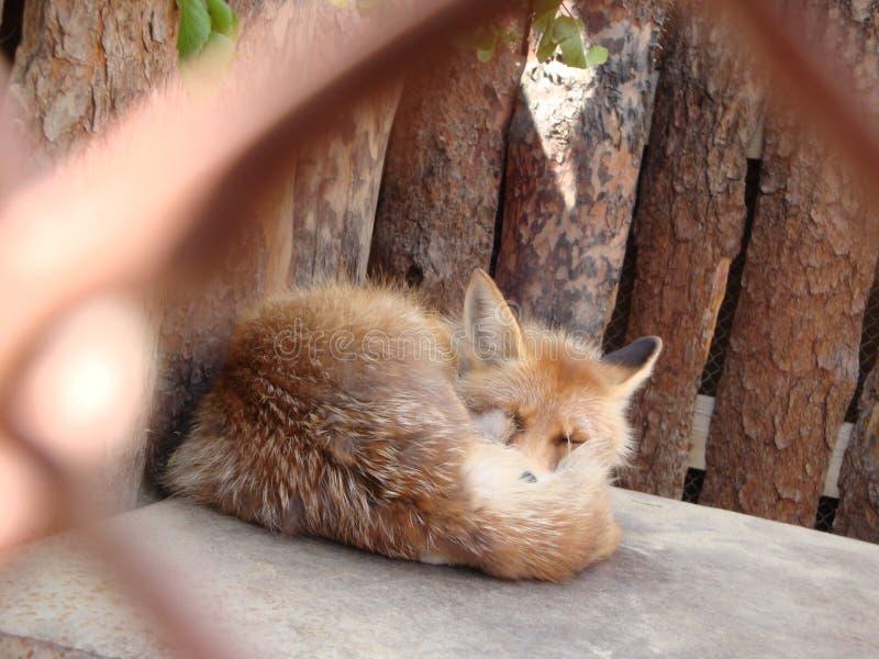 Le Fox rouge s'est courbé et dormant dans une cage couverte de queue pelucheuse photographie stock