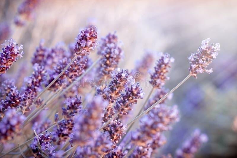 Le foyer mou sur la lavande fleurit dans le jardin d'agrément, fleurs de lavande allumées par des rayons du soleil photos libres de droits