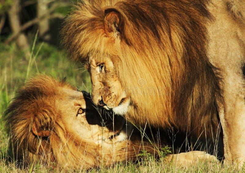 Le frère Lions photographie stock