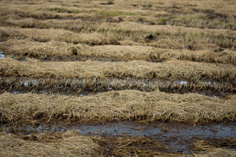 Le fram de riz après récolte images stock