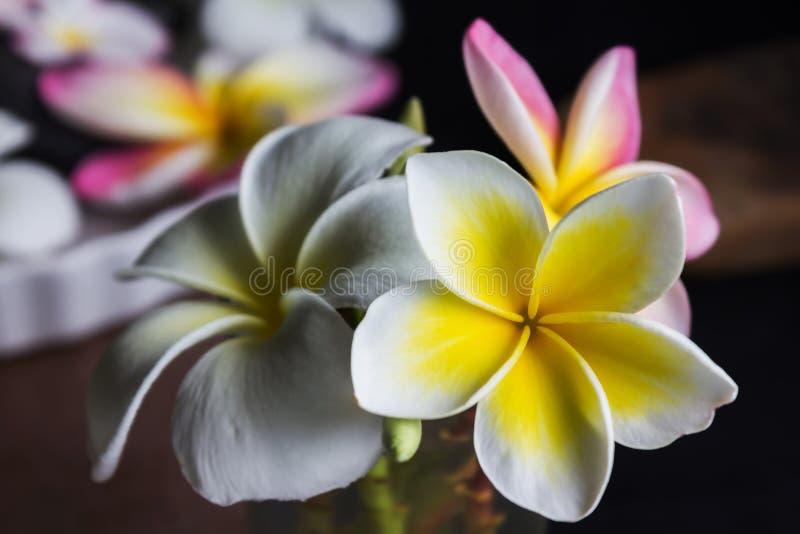 Le frangipani blanc et rose jaune romantique ou le plumeria fleurit photo libre de droits