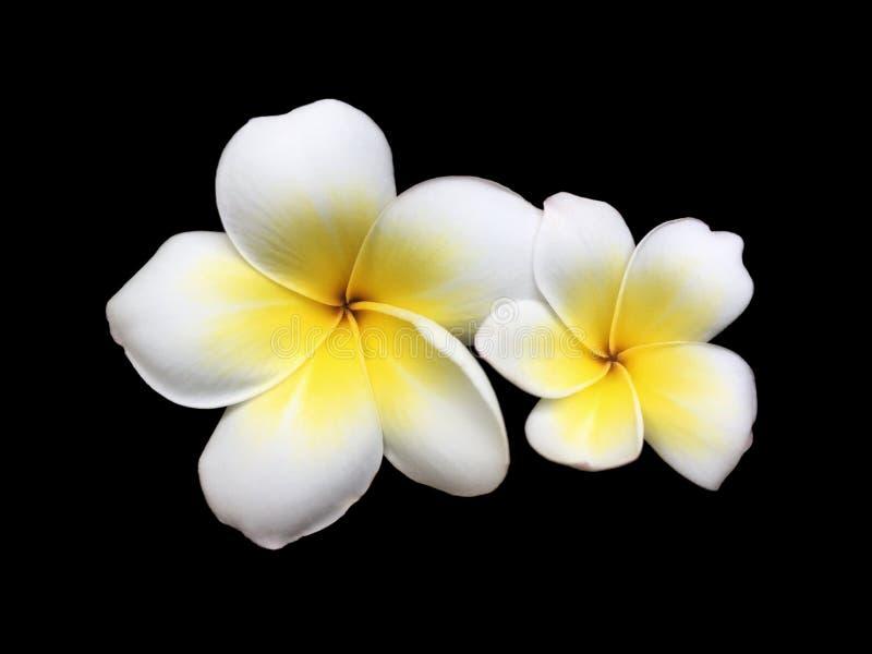 Le frangipani blanc jumeau frais fleurissant isole ensemble sur le fond noir image stock