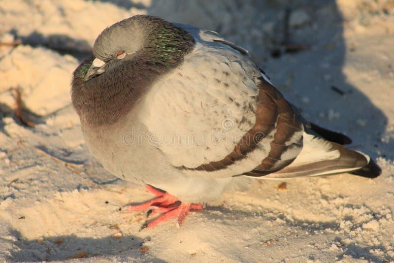 Le froid de pigeon une plage s'est blotti contre le vent images stock