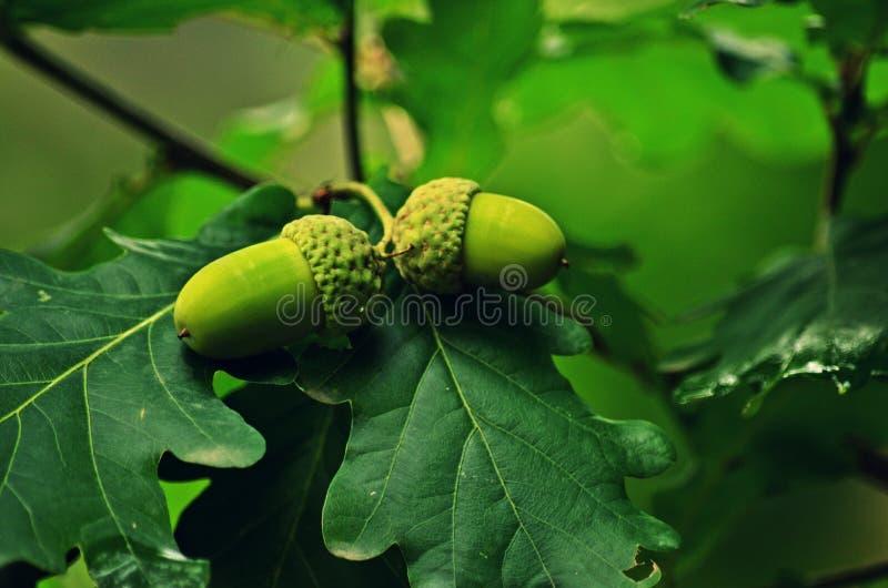 Le fruit anglais de chêne photo libre de droits