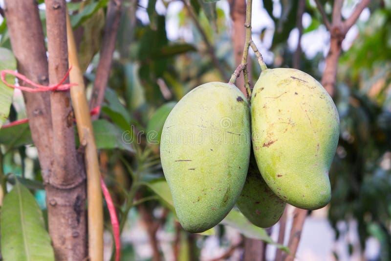 Le fruit cru de mangue d'arbre images stock