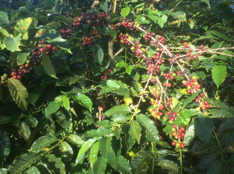 Le fruit du caféier des divers niveaux de maturité dans le pays tropical du Panama dans les Caraïbe photo libre de droits