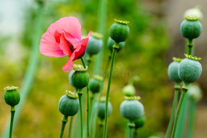 Le fruit du pavot à opium, qui est de temps en temps une photographie de la campagne photographie stock libre de droits