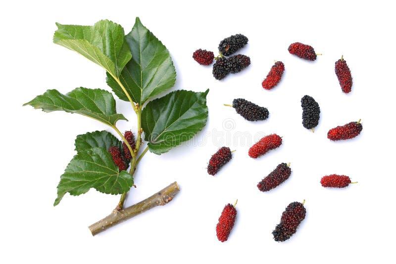 Le fruit et la branche mûrs frais de mûre collent avec l'isola vert de feuille images libres de droits