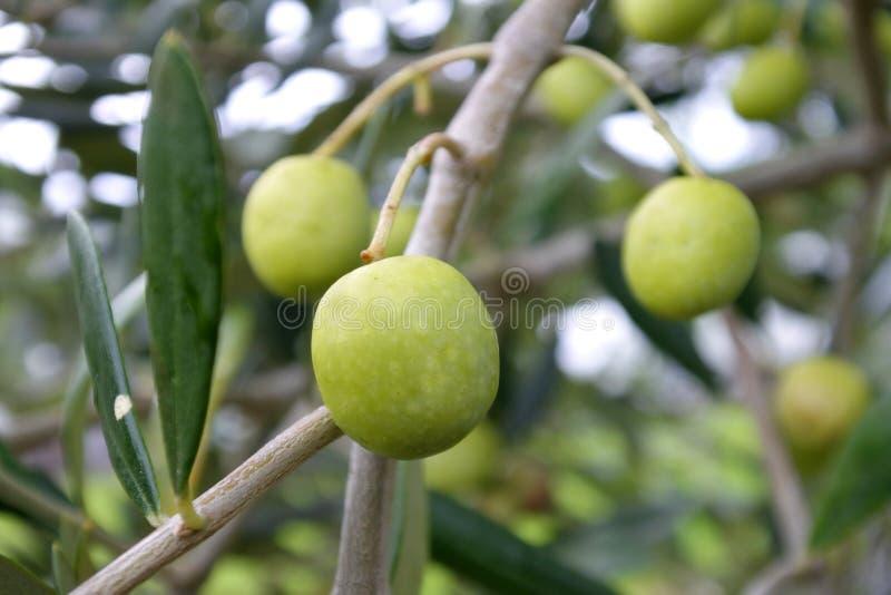 Le fruit frais d'olive verte se développent sur l'olivier image stock