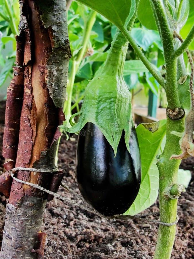 Le fruit pourpre noir d'aubergine se développe sur une branche d'une usine de jardin en serre chaude de jardin parmi les feuilles photographie stock