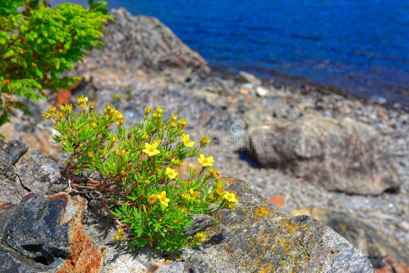 Le fruticosa arbustif de Dasiphora de Cinquefoil fleurit sur le lac gander, Terre-Neuve, Canada photo libre de droits