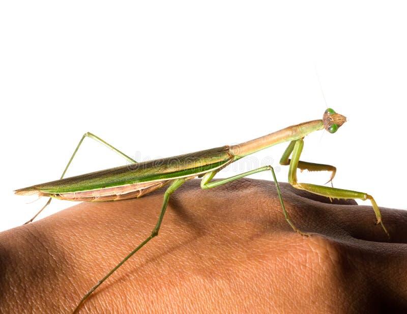Le g?ant commun de nom de patellifera vert de Hierodula asiatique, l'Indochine ou la mante de Harabiro, est des esp?ces des mante images libres de droits
