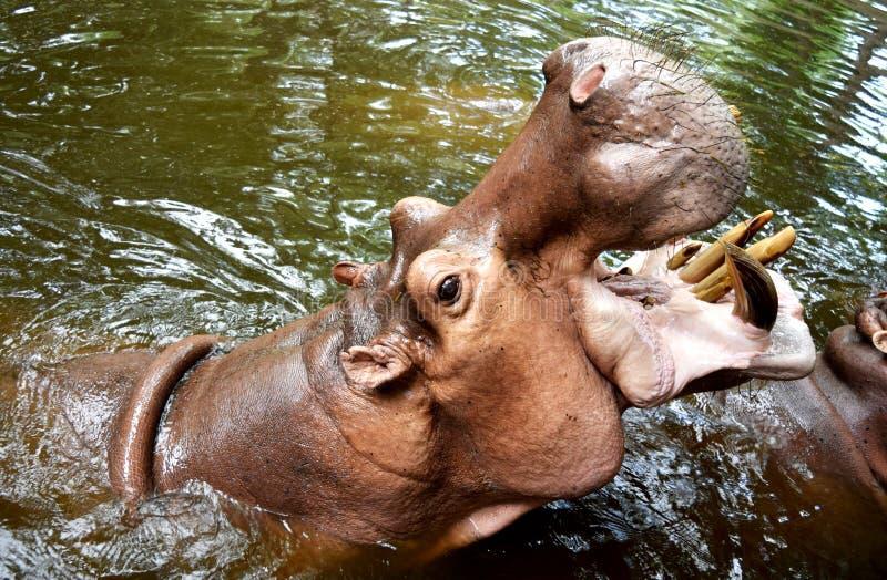 Le géant d'hippopotame a ouvert sa bouche sur l'eau images libres de droits
