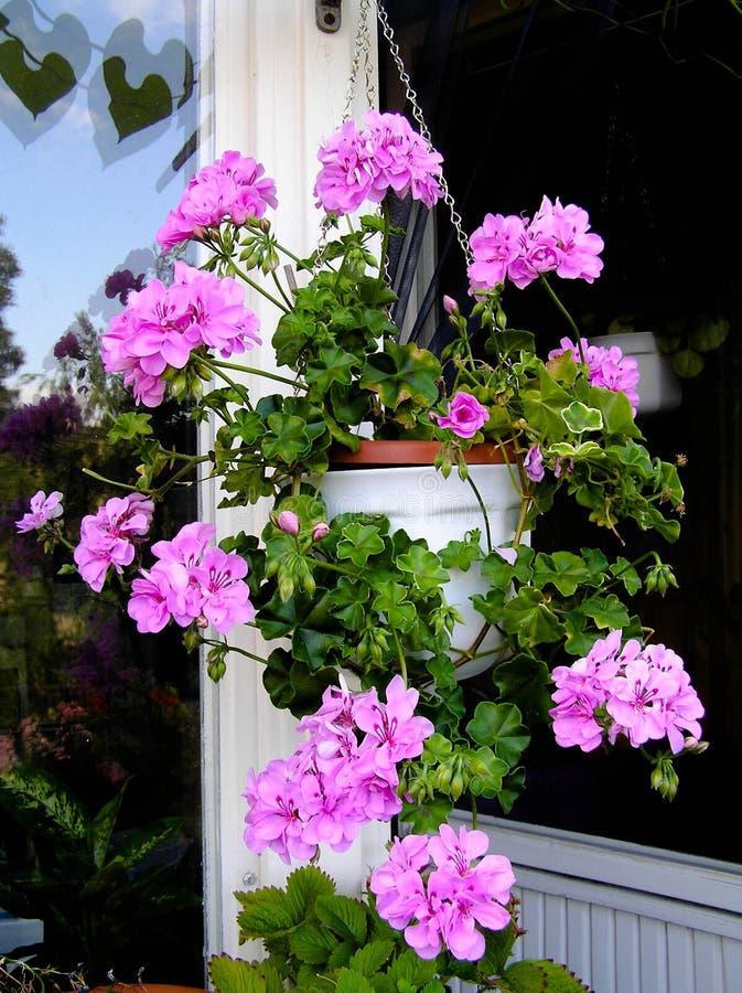 Le géranium fleurit dans le panier accrochant sur un balcon image stock