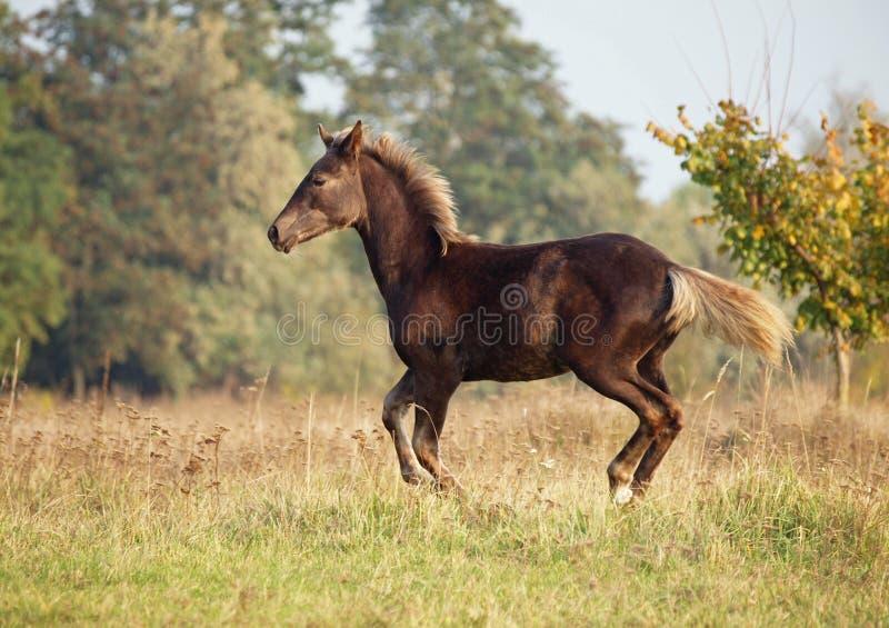 Le galop brun de fonctionnement de poulain sur un pré d'automne image libre de droits