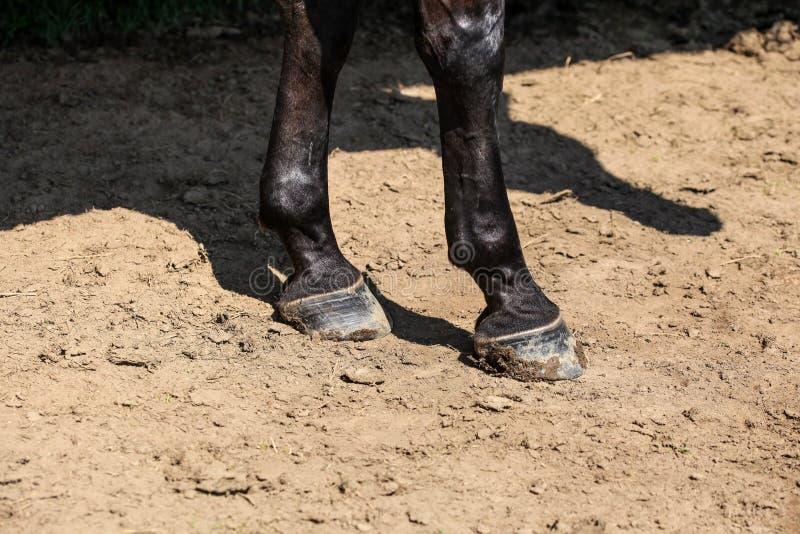 Le gambe anteriori del cavallo due neri, dettaglio ai hoofs su terra asciutta si sono accese vicino fotografie stock libere da diritti
