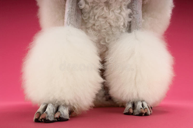 Le gambe del barboncino bianco governato immagini stock libere da diritti