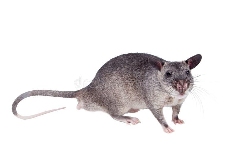 Le Gambien pouched le rat, bébé de 3 mois, sur le blanc photo stock