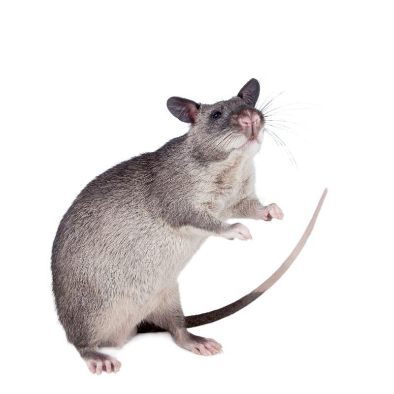 Le Gambien pouched le rat, bébé de 3 mois, sur le blanc photographie stock