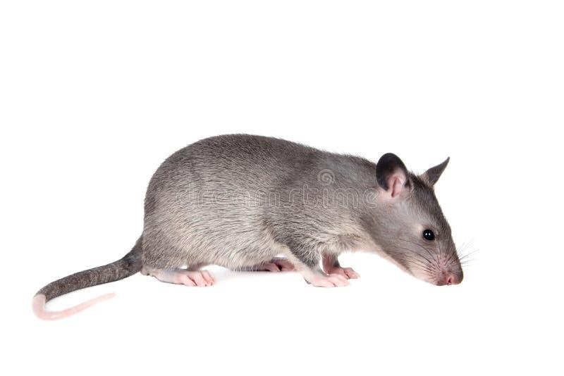 Le Gambien pouched le rat, bébé de 3 mois, sur le blanc photographie stock libre de droits