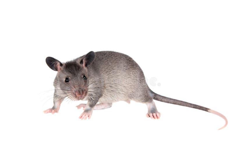 Le Gambien pouched le rat, bébé de 3 mois, sur le blanc images stock