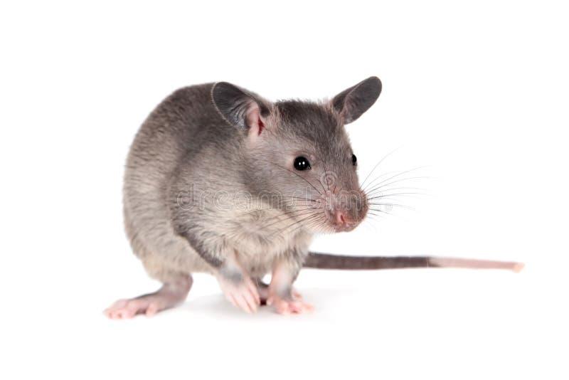Le Gambien pouched le rat, bébé de 3 mois, sur le blanc photo libre de droits