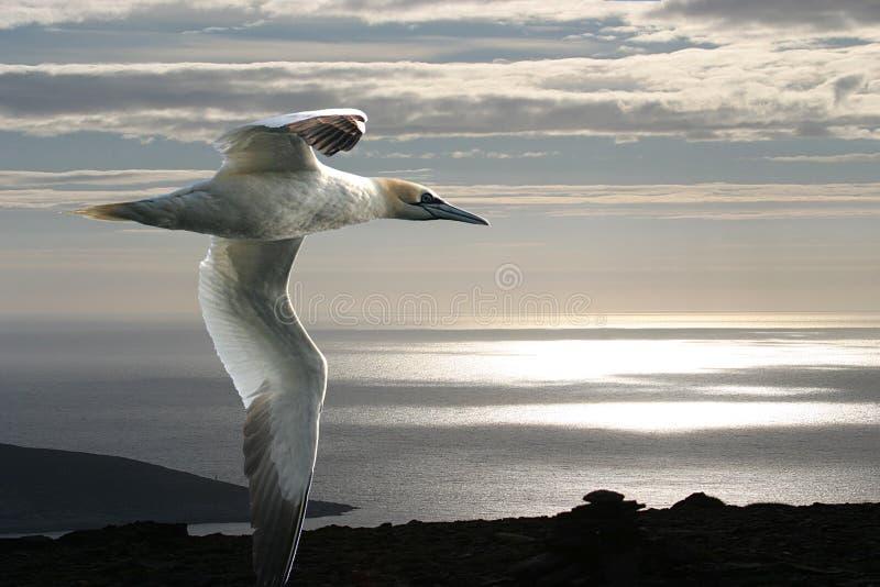 Le gannet et l'océan arctique. images stock